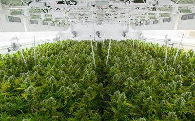 Bloomberg: Restricciones de la industria del cannabis en Norteamérica podrían beneficiar a Uruguay