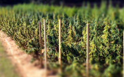 Colombia, en vías de ser uno de los principales productores de cannabis medicinal en el mundo