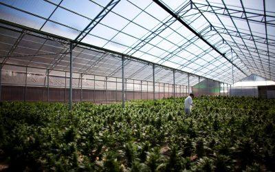 Ecuador podría tener una normativa para el cultivo del cannabis medicinal a finales de junio